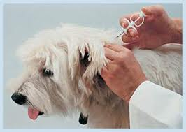 microchipping dog