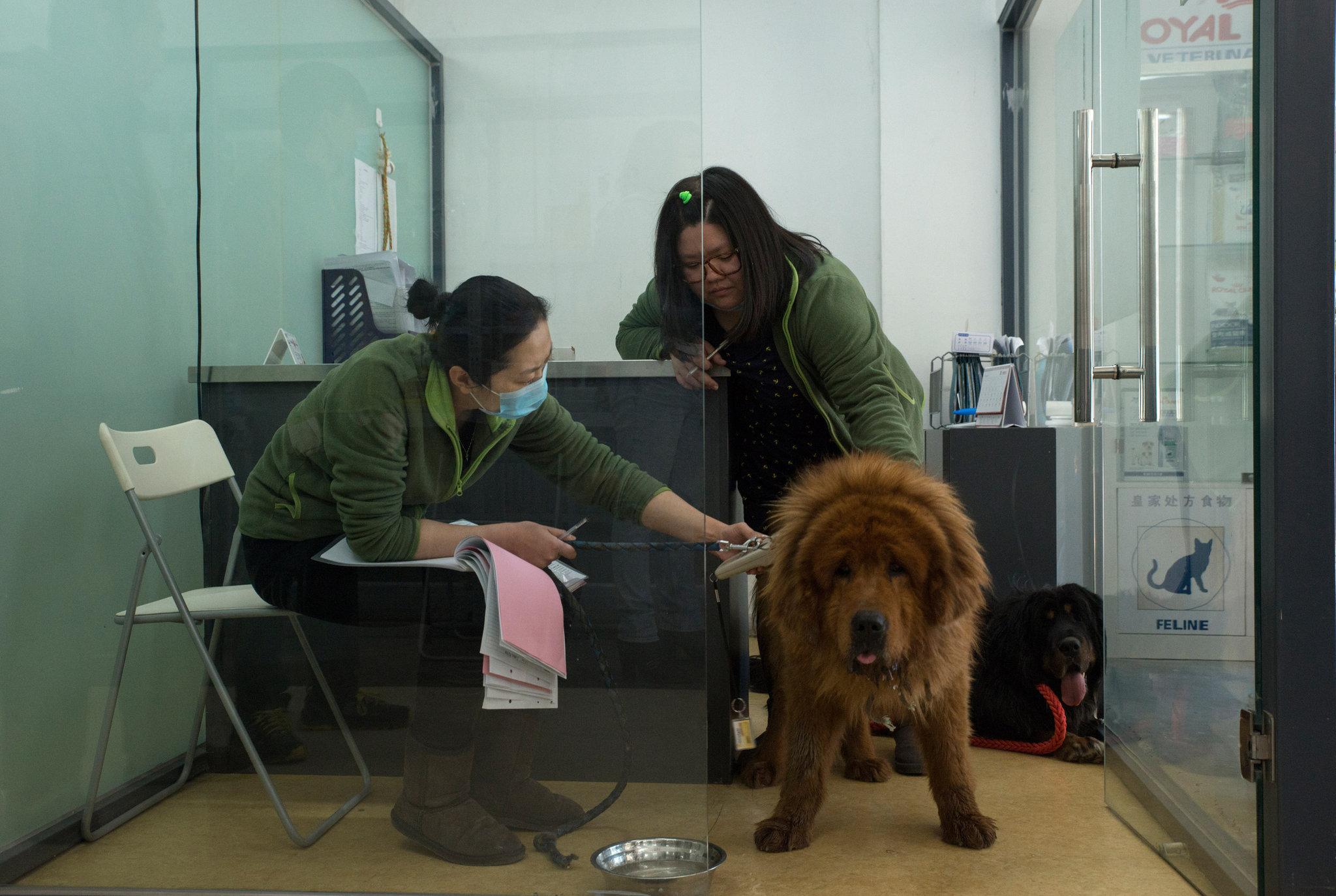 tibetan mastiff nibble ny times gilles sabre 2015-4-17